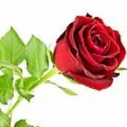 Red Rose On White Art Print