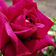 Red Rose Up Close Art Print