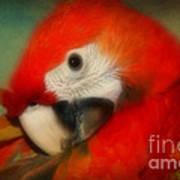 Red Scarlet   Macaw Parrot Sammy Art Print