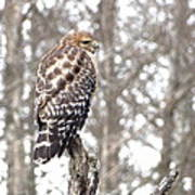 Red-shouldered Hawk Art Print