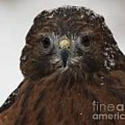 Red Shouldered Hawk Close Up Art Print