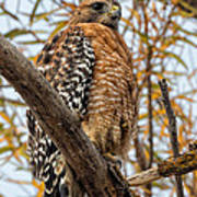 Red-shouldered Hawk In A Willow Tree Art Print