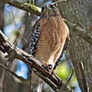Red-shouldered Hawk On Branch Art Print