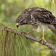 Red Shouldered Hawk Photo Art Print