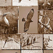Red-shouldered Hawk Poster - Sepia Art Print by Carol Groenen