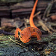 Red Spotted Newt Art Print