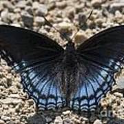 Red Spotted Purple Butterfly Art Print