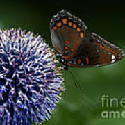 Red Spotted Purple Butterfly Gathering Nectar  Art Print