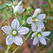 Red-spotted Saxifrage Along Horseshoe Lake Trail In Denali Np-ak  Art Print