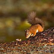 Red Squirrel In Autumn Art Print