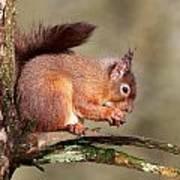 Red Squirrel Perched Portrait Art Print