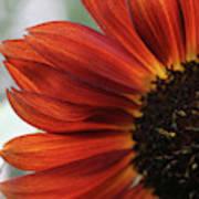 Red Sunflower Close-up Art Print