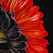 Red Sunflower Vii  Art Print