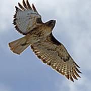 Red-tail Hawk #3094 Art Print