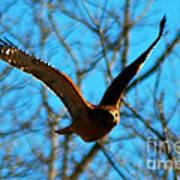 Red Tail Hawk In Flight Art Print