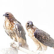 Red Tail Hawk Pair On White Background Art Print