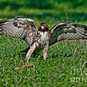 Red-tailed Hawk & Gopher Snake Art Print