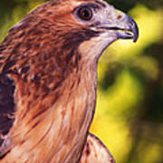 Red Tailed Hawk - 59 Art Print
