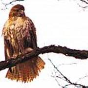 Red-tailed Hawk Drying Out Art Print