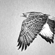 Red Tailed Hawk II Art Print