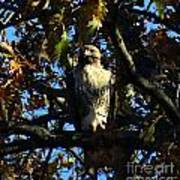 Red Tailed Hawk In Tree Art Print
