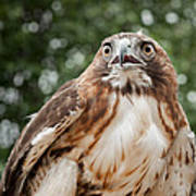 Red-tailed Hawk Square Art Print by Bill Wakeley