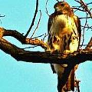 Red-tailed Hawk Watching Art Print