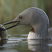 Red-throated Loon With Fish Alaska Art Print