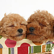 Red Toy Poodle Puppies Art Print