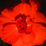 Red Tuberous Begonia Art Print