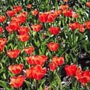 Red Tulip Bed Art Print
