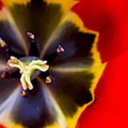 Red Tulip Macro Art Print