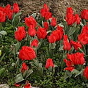 Red Tulips Art Print by Maeve O Connell