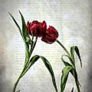 Red Tulips On A Letter Art Print