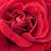 Red Velvety Rose Art Print