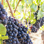Red Wine Grapes Hanging On Grapevines Vertical Art Print