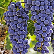 Red Wine Grapes Hanging On The Vine Art Print