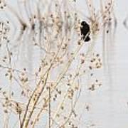 Red Wing Black Bird  Art Print