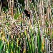Red-winged Black Bird In The Cattails Art Print