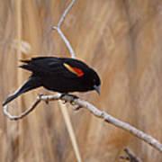 Red Winged Blackbird 1 Print by Ernie Echols