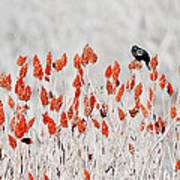 Red-winged Blackbird Art Print