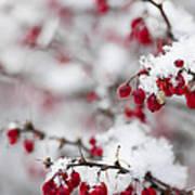 Red Winter Berries Under Snow Art Print