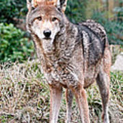 Red Wolf Alert Art Print