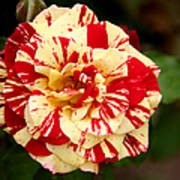 Red Yellow Rose Art Print