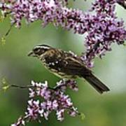 Redbud With Grosbeak Art Print