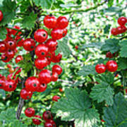 Redcurrant Berries Art Print