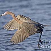 Reddish Egret Dance Fishing Art Print