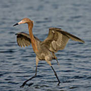 Reddish Egret Doing Fishing Dance Art Print