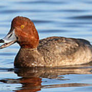 Redhead Duck At St. Mark's Art Print