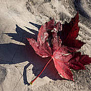 Reds And Purples - Deep Red Maple Leaf And Its Shadow Art Print